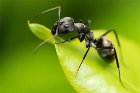 Aaltjes F tegen mieren